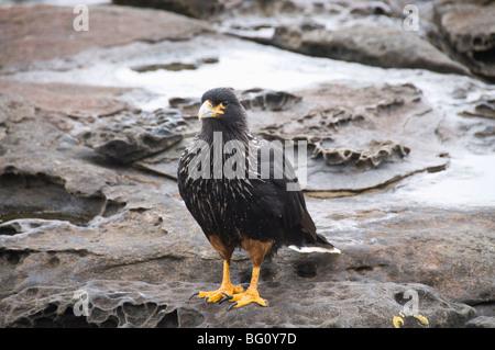 Striated caracara bird, Carcass Island, Falkland Islands, South America - Stock Photo