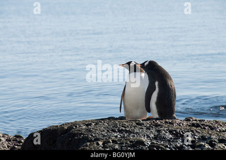 Gentoo penguins at Brown Bluff, Antarctic Peninsula, Antarctica, Polar Regions - Stock Photo