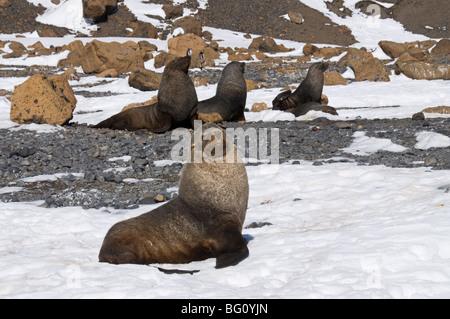 Fur seals at Brown Bluff, Antarctic Peninsula, Antarctica, Polar Regions - Stock Photo