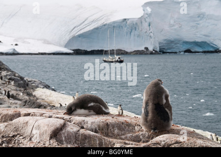 Gentoo penguins, Port Lockroy, Antarctic Peninsula, Antarctica, Polar Regions - Stock Photo