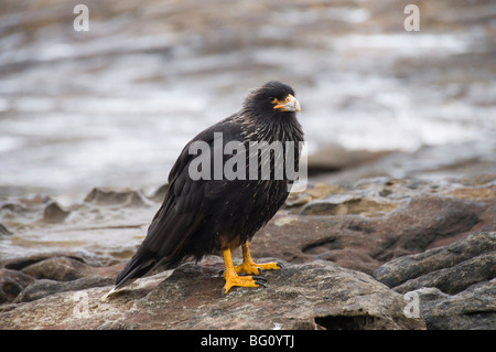 Striated caracara (Phalcoboenus Australis) bird, Carcass Island, Falkland Islands, South America - Stock Photo