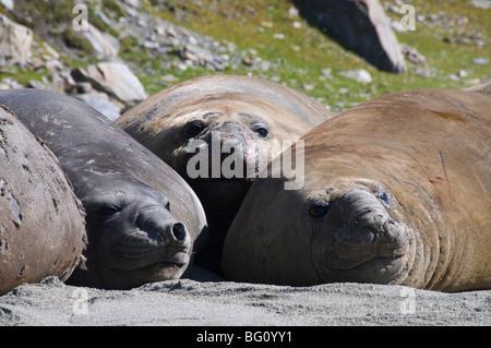 Elephant seals, Moltke Harbour, Royal Bay, South Georgia, South Atlantic - Stock Photo
