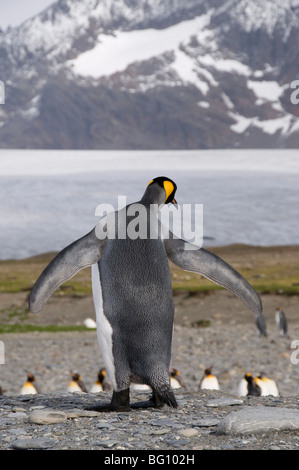 King penguins, St. Andrews Bay, South Georgia, South Atlantic - Stock Photo
