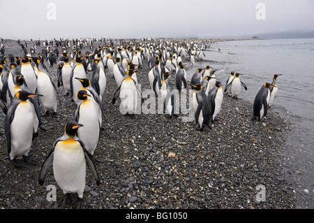 King penguins, Salisbury Plain, South Georgia, South Atlantic - Stock Photo