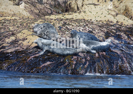 Grey seals, Isles of Scilly, Cornwall, United Kingdom, Europe - Stock Photo