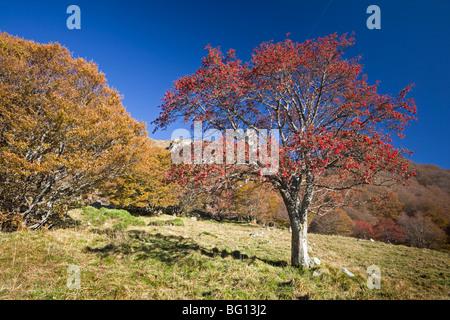 In Autumn, an European Rowan (Sorbus aucuparia) in the Chaudefour valley. Sorbier dans la vallée de Chaudefour, - Stock Photo
