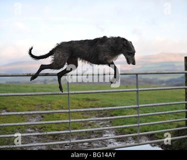 deerhound lurcher jumping gate - Stock Photo