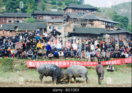 New Year bull fighting festival in the Miao village of Xijiang, Guizhou Province, China, Asia - Stock Photo