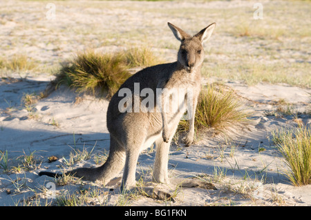 Eastern grey kangaroo (Macropus giganteus) on beach at sunrise, Ben Boyd National Park, New South Wales, Australia, - Stock Photo