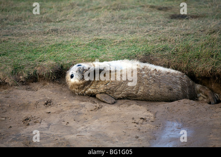 grey seal pup posing on the beach at Donna Nook, Somercoates, lincolnshire, England - Stock Photo