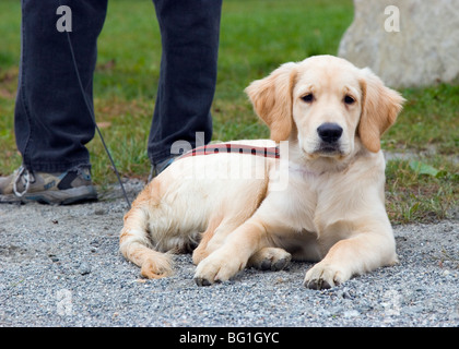 Golden retriever puppy dog laying down - Stock Photo