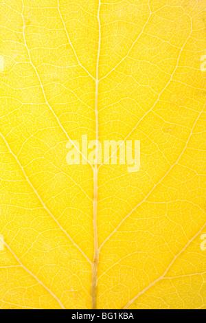 close up of aspen leaf - Stock Photo