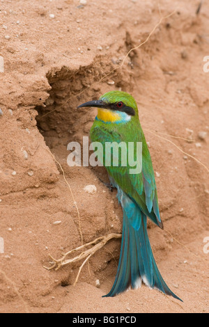 Swallow-tailed bee-eater (Merops hirundineus), at nest hole, Kgalagadi Transfrontier Park, South Africa, Africa Stock Photo