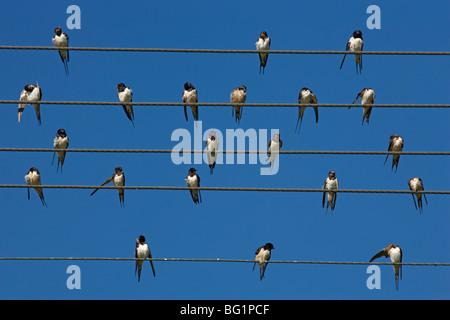 Barn (European) swallow (Hirundo rustica) on wire, Overberg, Western Cape, South Africa, Africa - Stock Photo