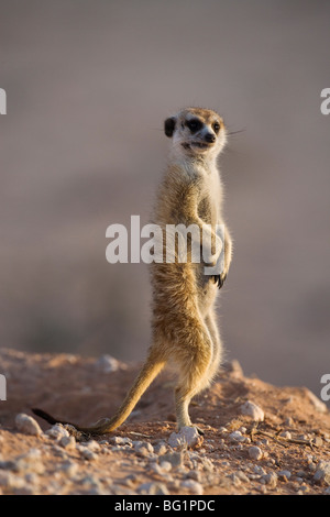 Meerkat sentinel (Suricatta suricata), Kgalagadi Transfrontier Park, Northern Cape, South Africa, Africa - Stock Photo