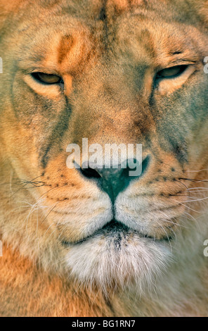 Close up of a female Lion, Panthera leo - Stock Photo