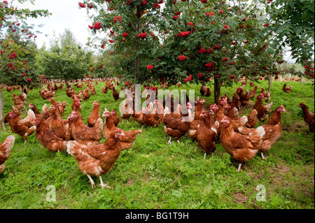 Free range hens wander through woodland - Stock Photo