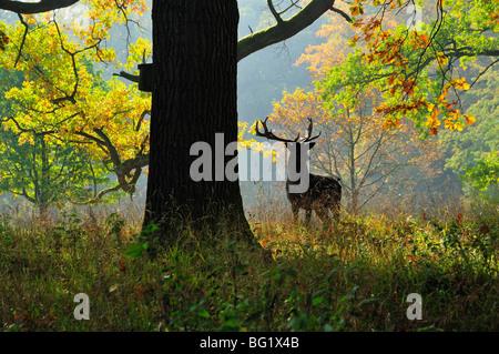 Deer, Favorite Park, Ludwigsburg, Baden-Wurttemberg, Germany, Europe - Stock Photo