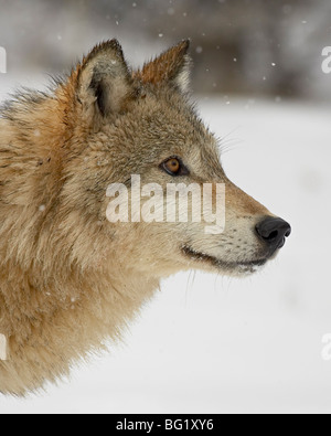 Gray wolf (Canis lupus) in snow, near Bozeman, Montana, United States of America, North America - Stock Photo