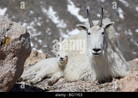 Mountain goat (Oreamnos americanus) nanny and kid, Mount Evans, Colorado, United States of America, North America - Stock Photo