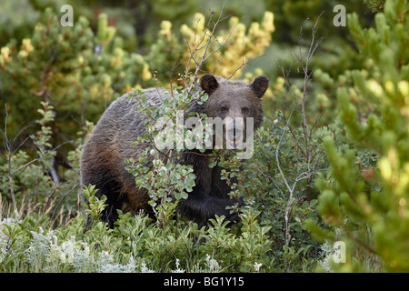 Grizzly bear (Ursus horribilis), Glacier National Park, Montana, United States of America, North America - Stock Photo