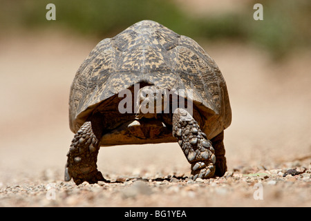 Leopard tortoise (Geochelone pardalis), Swartberg Pass, South Africa, Africa - Stock Photo
