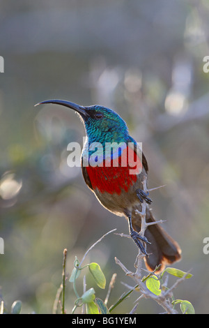 Greater double-collared sunbird (Cinnyris afra), Addo Elephant National Park, South Africa, Africa - Stock Photo