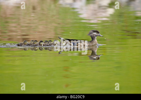 Wood duck (Aix sponsa) hen and ducklings swimming, Arapahoe County, Colorado, United States of America, North America - Stock Photo