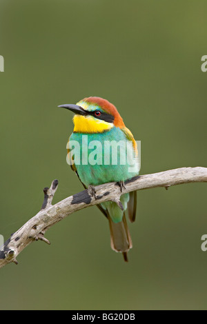 European bee-eater or golden-backed bee-eater (Merops apiaster), Kruger National Park, South Africa, Africa - Stock Photo