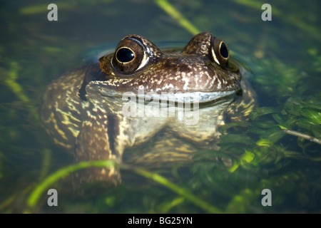 Single Common Frog (Rana temporaria) close up and enhanced with flash in the pond directly from the front - Stock Photo