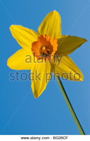 A close-up photograph of yellow daffodil on blue