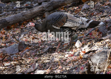 Wild Gould's turkey (Meleagris gallopavo mexicana), Southern Arizona - Stock Photo