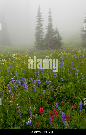 Beautiful alpine wildflowers, including lupins, paintbrush, valerian, arnica etc, around Tipsoo Lake, Chinook Pass, - Stock Photo