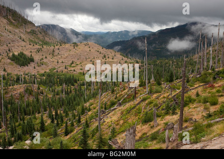 Burnt coniferous forest regenerating following eruption, on Mount St Helens National Park, Washington, USA, North - Stock Photo