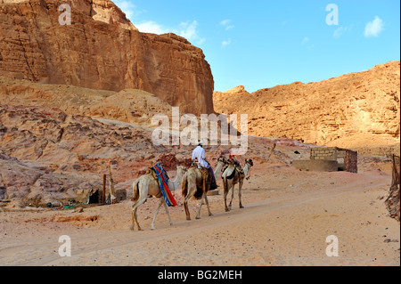 Bedouin camels near Ain Hudra Oasis, Wadi Meghesa, South Sinai, Egypt - Stock Photo
