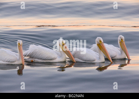 Group of American White Pelicans Pelecanus erythrorhynchos, feeding collectively at sunset; Bodega Bay, California, - Stock Photo