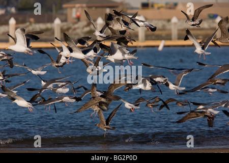 Western Gulls Larus occidentalis in flight at Moss Landing harbour, California, United States - Stock Photo