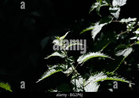 Light on stinging nettle (common nettle, Urtica dioica) - Stock Photo