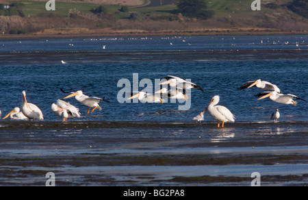 Group of American White Pelicans Pelecanus erythrorhynchos, in flight, Bodega Bay, California, United States - Stock Photo