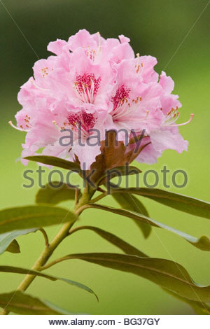 Pink rhododendron blossom on green - Stock Photo