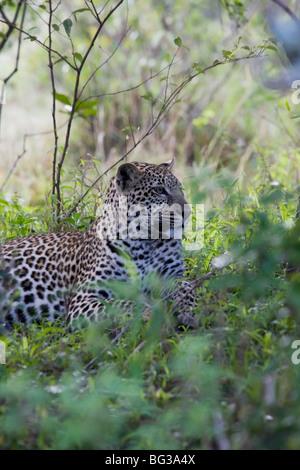African leopard (Panthera pardus), Masai Mara National Reserve, Kenya, East Africa, Africa - Stock Photo
