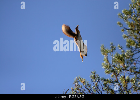 squirrel jumping from tree to tree, airborne and flying in air. - Stock Photo