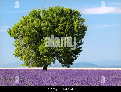 Tree in a lavender field, Valensole plateau, Provence, France - Stock Photo
