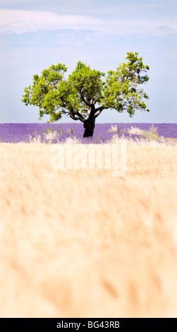 Tree in a wheat and lavender field, Valensole plateau, Provence, France - Stock Photo