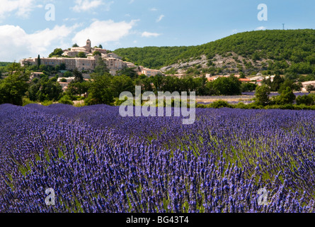 Lavender fields at Banon, Provence, France - Stock Photo