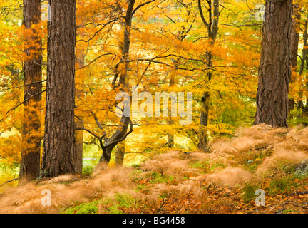 Woodland in autumn, Scotland, UK - Stock Photo