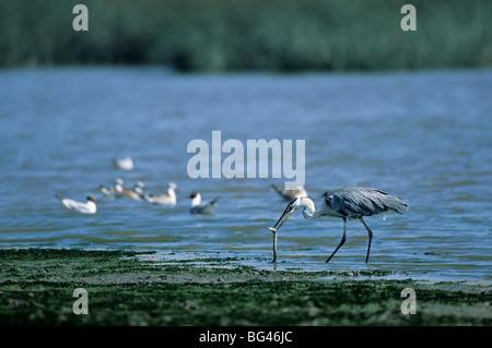 grey heron, capture a river eel , ardea cinerea & anguilla anguilla - Stock Photo