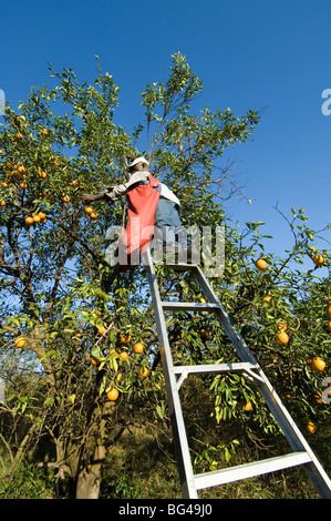 Orange Grove, Immokalee, Florida - Stock Photo