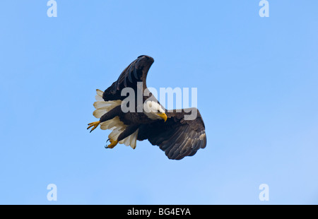 A mature Bald Eagle taking flight against a blue sky background. - Stock Photo