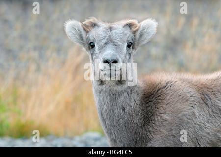 A portrait image of a young Rocky Mountain Bighorn Sheep - Stock Photo